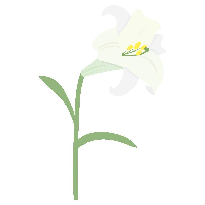 一輪の白いユリの花